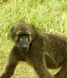 Kruger´s baboon pal!