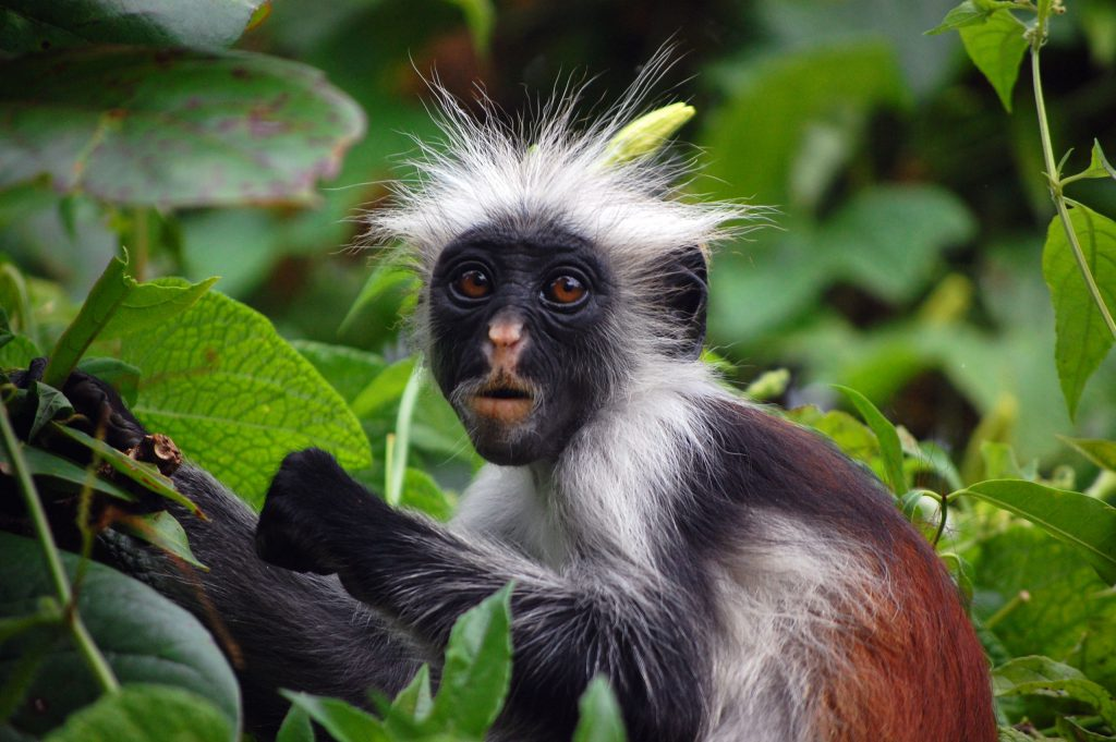 what to see in zanzibar red colobus monkey