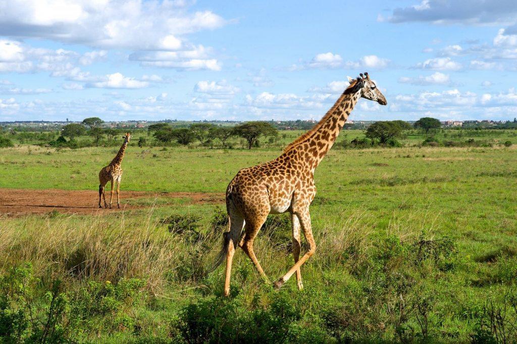 nairobi - giraffe