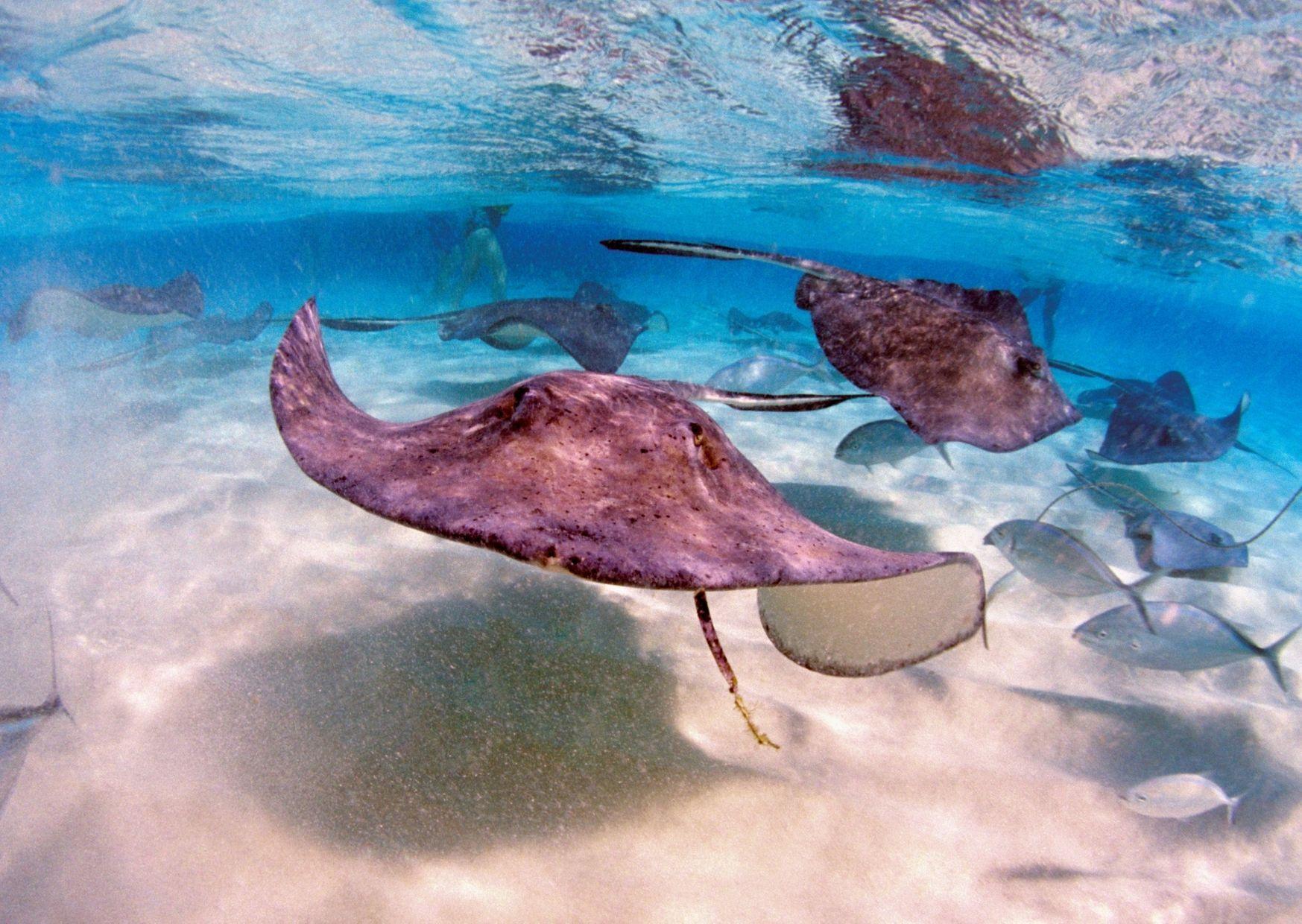 cayman Island stingray city
